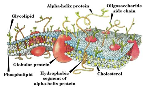 Cell membrane   Simple English Wikipedia, the free ...
