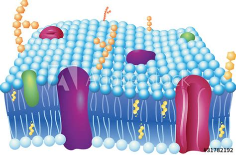 cell membrane  Stock image and royalty free vector files ...