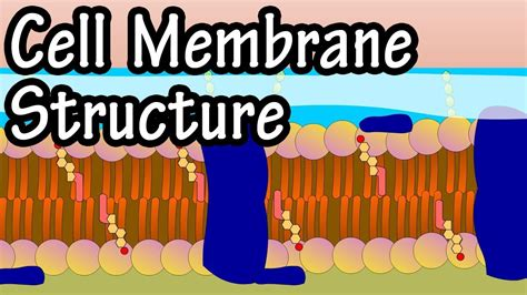 Cell Membrane Structure And Function   Function Of Plasma ...