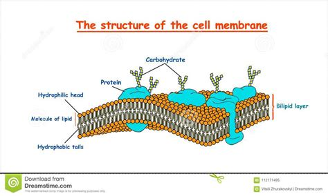 Cell Membrane Structure On White Background Isolated ...