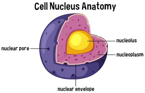 Cell nucleus anatomy diagram | Premium Vector