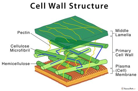 Cell Wall: Definition, Structure, & Functions with Diagram