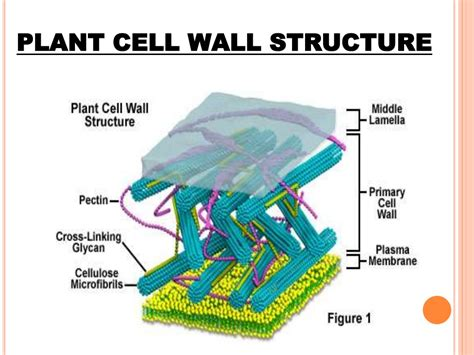 Cell wall structure and function