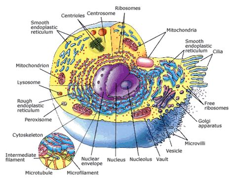 Cellular Components of Animal and Plant Cells | Anjung ...