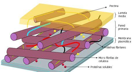 Celularízate: Estructura de las paredes celulares