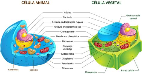 Células vegetales Vs células animales: Cuadros ...