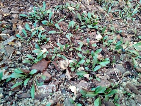 Centaurea dealbata. | Arbustos de hoja perenne, Arbustos ...