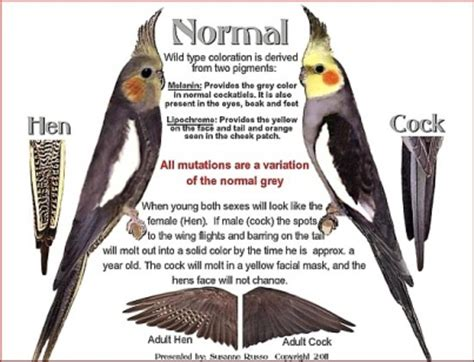 Chapter 2 – COCKATIEL MUTATIONS, A Bounty of Color