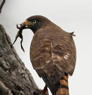 Charla virtual: ¿Qué comen las aves rapaces en una ciudad ...