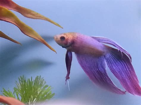 Cheap Tropical Fish for sale   Romford, Essex   Pets4Homes