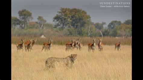 Cheetah stalks lechwe in Moremi Game Reserve, Botswana ...
