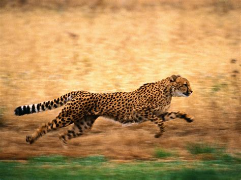 Cheetah | The Biggest Animals Kingdom