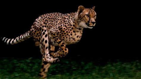 Cheetahs: National Geographic Films World s Fastest Animal