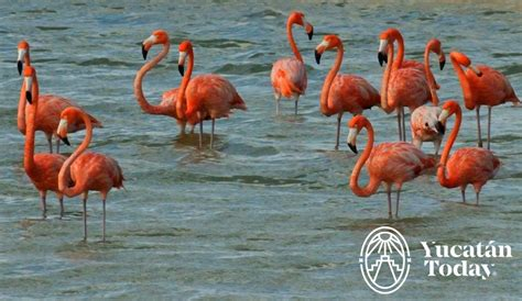 Cherie's Bird of the Month: American Flamingo | Yucatan Today