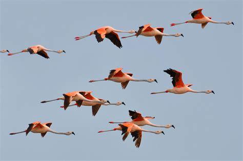 Chilean Flamingo  Phoenicopterus chilensis    Biology B ...