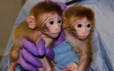 CHINA Cloning of monkeys prompts fears about the ...