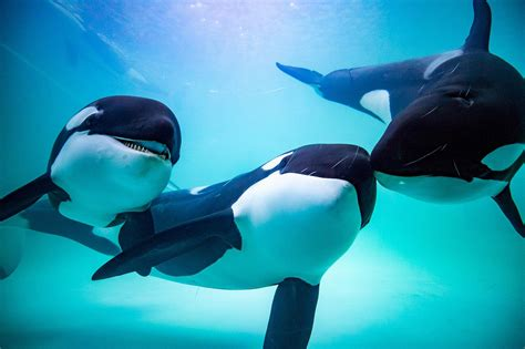 China s First Orca Breeding Center Sparks Controversy