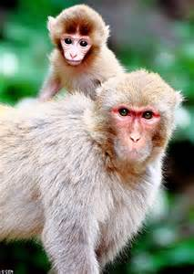 China to spend £500k on bridges so macaque MONKEYS can ...