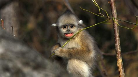 China's Golden Monkeys   National Geographic Channel   Asia