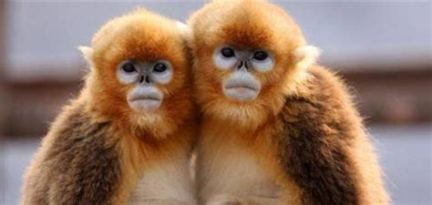 Chinese Golden Monkey: The Physical Features And Situation ...