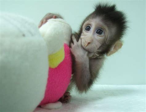 Chinese scientists clone monkey twins, Zhong Zhong and Hua ...