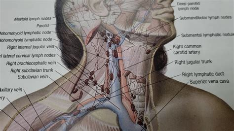 Chiropractic Adjustments and the Lymph Nodes in the Neck ...
