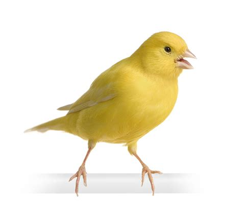 Choosing a Pet Bird | Buying a Canary or Finch | Finches ...