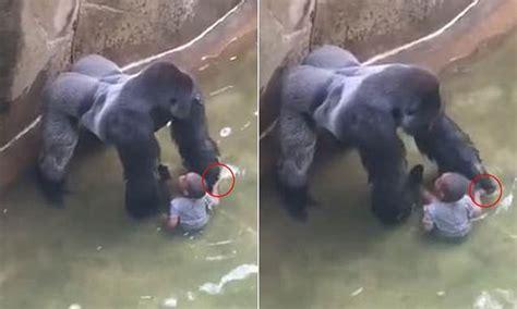 Cincinnati Zoo video shows Harambe the gorilla HOLDING ...
