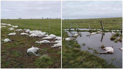 Cinco mil ovejas murieron en Corrientes por un insólito ...