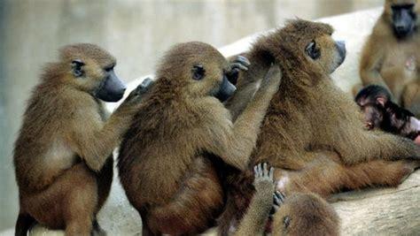 Cincuenta monos se escapan de sus jaulas y obligan a ...
