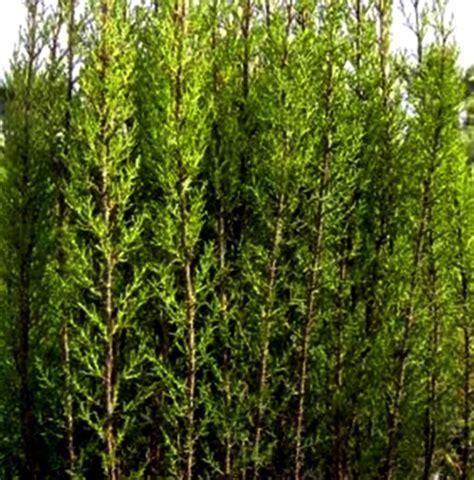 Cipres Cupressus Sempervirens para Cierres O Setos. 10   20 cm