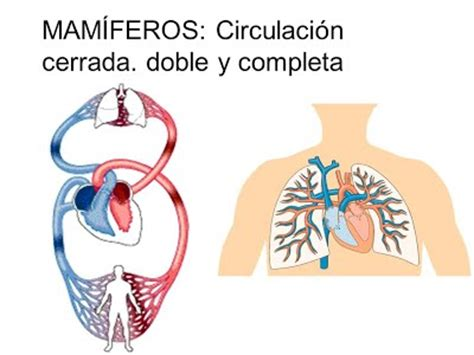 Circulación doble   Sistema Circulatorio