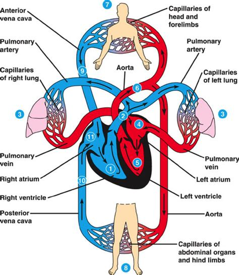 Circulatroy and Respiratory System   The Wright Stuff
