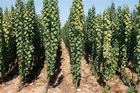 Ciruelos  Prunus Domestica    Viveros Sancho
