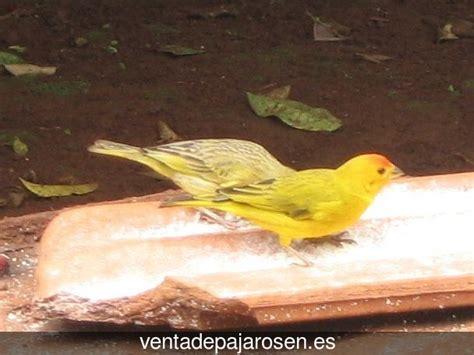 Clases De Pajaros Canarios   SEONegativo.com