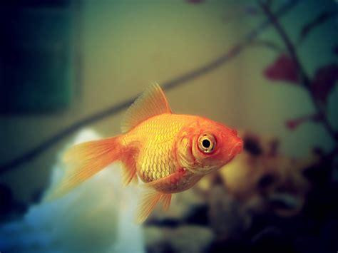 Clases de peces para acuarios   webanimales.com