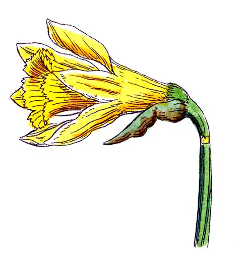 Clip Art of Spring Flowers   Botanicals   The Graphics Fairy