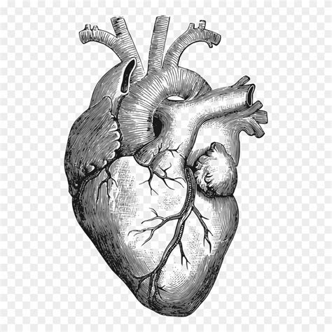 Clipart   Anatomical Heart   Corazon Humano Dibujo   Png ...