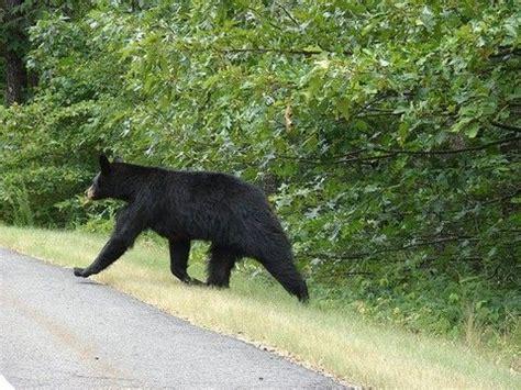 Close encounters with Arkansas wildlife  black bear at ...