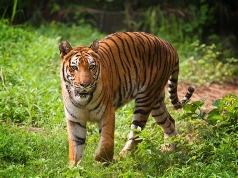 Coal Plants Threaten Tigers, Dolphins and People ...