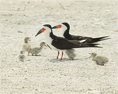 Coastal Bird Stewardship   Audubon Florida