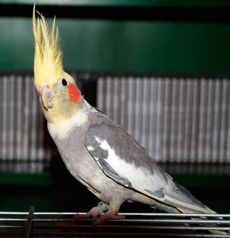 Cockatiel  Nymphicus hollandicus    Exotic birds | Pets
