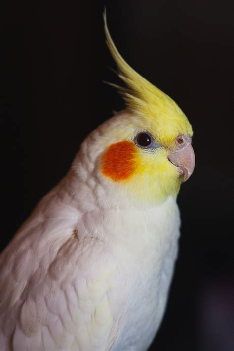 Cockatiel  Nymphicus hollandicus  my cockatiel lookeed ...