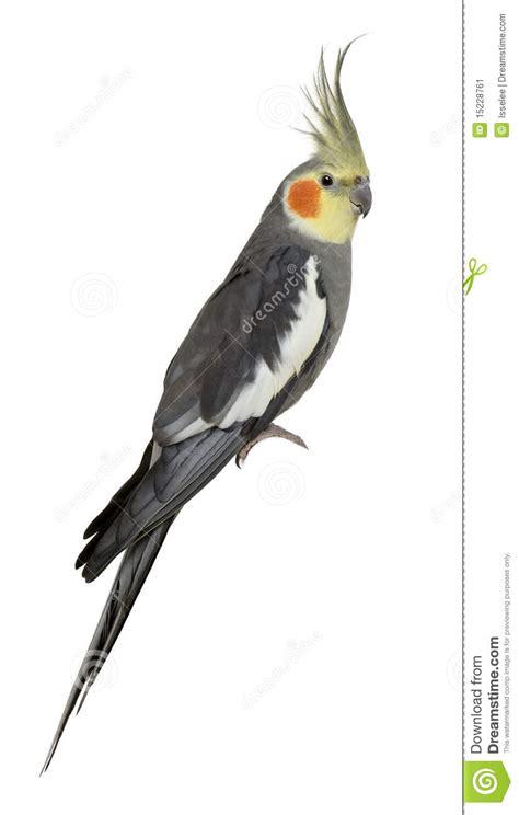 Cockatiel, Nymphicus Hollandicus, Perched Stock Image ...