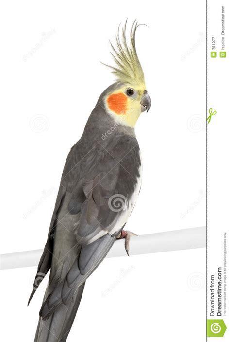 Cockatiel   Nymphicus Hollandicus Stock Image   Image of ...