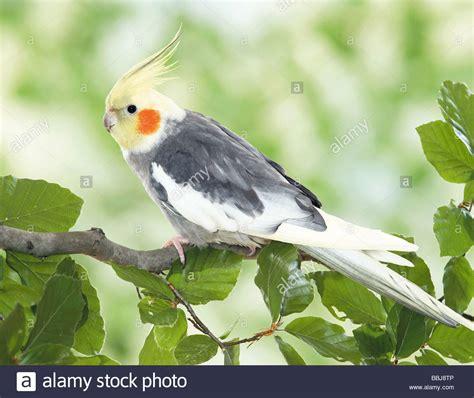 cockatiel on branch / Nymphicus hollandicus Stock Photo ...
