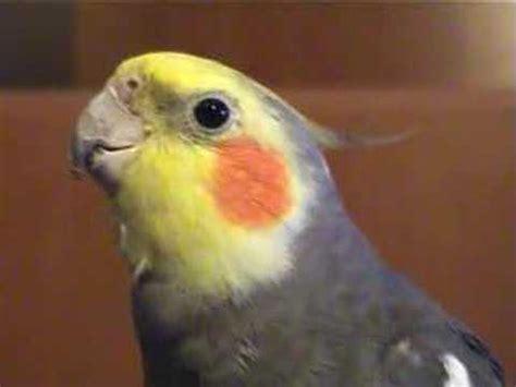Cockatiels singing Jingle Bells   YouTube
