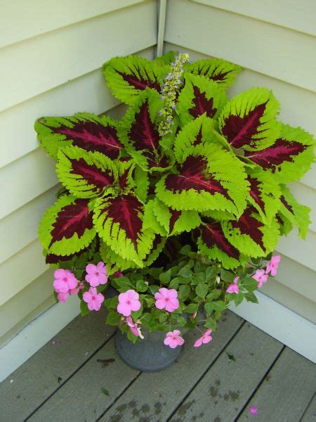 Coleus with impatiens...love this. I need a place to put ...