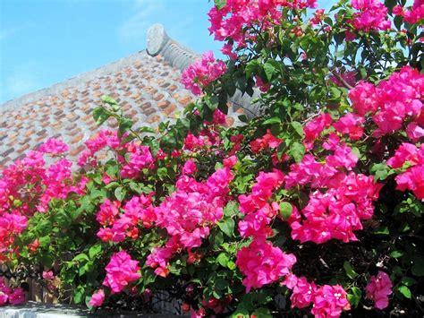 Come coltivare il fiore rampicante Boungaville   Garden4us