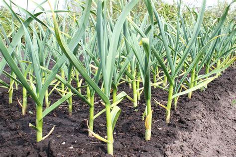 Come coltivare l aglio in vaso o giardino: la guida per ...